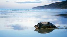 In addition to Playa Grande's surf-worthy waves, Costa Rica's Pacific Coast is famous for the turtles that inhabit its shores.