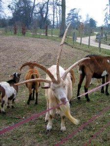 I don't know the language so don't know what this is. Those FOUR large horns, whatever, are just incredible. I wonder if this is normal. Interesting Animals, Unusual Animals, Rare Animals, Animals And Pets, Beautiful Horses, Animals Beautiful, Animals With Antlers, Artic Animals, Tier Fotos