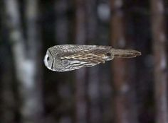 bullet owl in flight