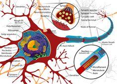 Artikel biologi tentang pengertian sel darah merah dan beberapa hal yang terkait di dalamnya meliputi jumlah + terbentuknya sel darah merah ini.