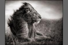 Lion Before Storm II