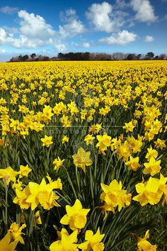 Just like the fields at the family farm. Love you granddaddy. Just like the fields at the family farm. Love you granddaddy. Yellow Flowers, Spring Flowers, Wild Flowers, Beautiful Flowers, Exotic Flowers, Flowers Garden, Image Nature, Spring Bulbs, Types Of Flowers