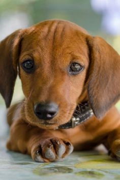 """Outstanding """"Dachshund Puppies"""" detail is available on our web pages. Check it out and you will not be sorry you did. Dachshund Puppies, Weenie Dogs, Dachshund Love, Cute Puppies, Cute Dogs, Chihuahua, Dogs And Puppies, Cute Babies, Every Dog Breed"""