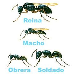 size guide for different ants, primarily for solider and worker ants. worker ants for farming/construction and solider for war horses Queen Ant, Ant Colony, Types Of Work, Different Types Of Ants, Bugs And Insects, Wasp, Game Art, Creatures, Colonial