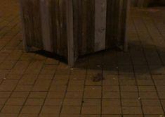 Ijesztő! Patkánytámadás Budapesten - gyalogosra  rontott az Örs vezér terén az állat - videó | blikk.hu