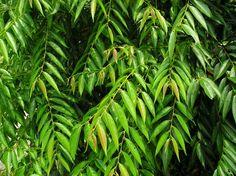 圖像:Glochidion lanceolatum IMGP0489.JPG - 山羊百科