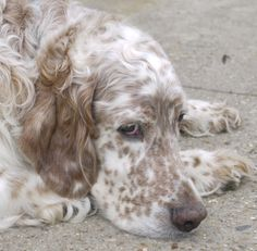 Zion The 12th Dual Field and Show Champion English Setter