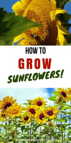 Sunflowers draw pollinators, look gorgeous, and make food for birds. Doing a sunflower garden project with kids is tons of fun and there are so many things they can learn from the garden. You just need a few sunflower seeds, a patch of dirt and plenty of water and sunshine to grow a great sunflower garden.
