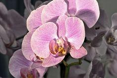 il significato dell'Orchidea equivale ad eleganza