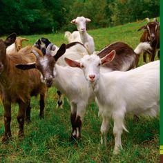 ¿Estas considerando tener cabras en tu finca? si es así, asegúrales un pasto de buena calidad. Conoce todos nuestros servicios en nuestra página web www.terra.net.co y llámanos al tel: (4) 3860181 Atendemos Palmas, Escobero y oriente antioqueño.