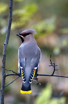 Japanese Waxwing. Lots of these in our area...remember to plant ornamental fruit trees to attract these awesome flock birds
