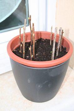 boutures de groseilliers, cassissiers Garden Online, Plantation, Permaculture, Balcony Garden, Horticulture, Botany, Amazing Gardens, Vegetable Garden, Gardening Tips