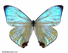 "The Pearl Morpho has a pearl-like glossy sheen that changes color depending on the angle it's viewed and sometimes will disappear entirely. There's several variations of the Pearl Morpho, some have a slight blue tint while others are less blue and more ""pearly"".Origin:South America"