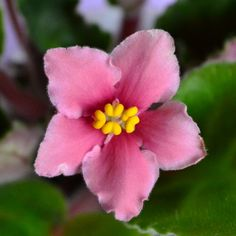 Coral Sunset African Violet Flower