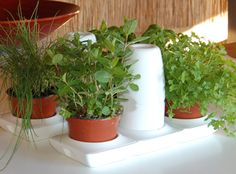 Growing Herbs with Kids