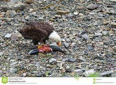Eagles - Icy Straight Point Alaska