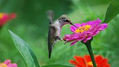 Beautiful Bird Wallpaper, Most Beautiful Birds, Beautiful Butterflies, Animal Wallpaper, Pink Wallpaper, Wallpaper Backgrounds, Wallpapers, Hummingbird Wallpaper, Fuchsia Plant