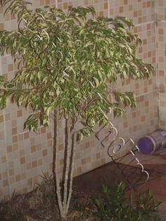 Ficus benjamina 28/02/2013