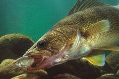 Baitfish are on the move as water conditions change in the fall, and the walleyes are right behind them. You should be too.