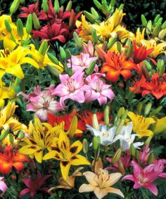 All-Summer Blooming Lily 20-Bulb Set | Daily deals for moms, babies and kids