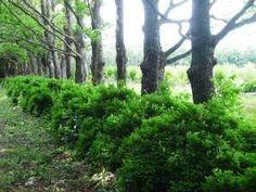 Кусты чубушника в живой изгороди Plants, Plant, Planets