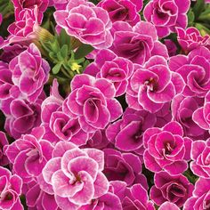 Proven Winners - Superbells® Doublette Love Swept™ - Double Calibrachoa - Calibrachoa hybrid pink white deep pink edged in white plant details, informati. Indoor Flowers, Flower Garden, Garden Signs, Flower Pots, Plants, Perennials, Flowers, Annual Flowers, Big Leaf Plants