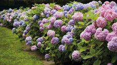 hortensia buske