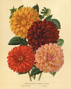 Dahlia Vintage flower art print garden wall от VictorianWallArt