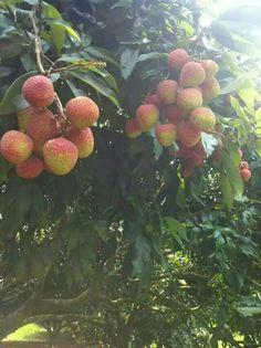 Lychee fruit Litchi Fruit, Lychee Fruit, Strawberry, Strawberry Fruit, Strawberries, Strawberry Plant