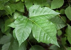 Poison ivy are plants that can occur anywhere, even in your own backyard. Poison ivy's green leaves tend to camouflage well with other harmless plants and Household Cleaning Tips, House Cleaning Tips, Diy Cleaning Products, Poison Ivy Killer, Poison Ivy Treatment, Poison Ivy Leaves, Poison Ivy Remedies, Ivy Look, Garden Site