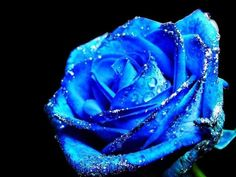 blue roses - Google Search