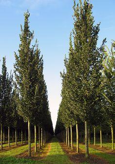 Ulmus 'Columella'; USDA Zone: 5-8