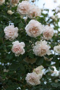 1000 images about rose francais on pinterest roses. Black Bedroom Furniture Sets. Home Design Ideas