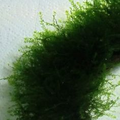 For Sale Now: Blepharostoma trichophyllum (Mini Rose Moss) . Order Blepharostoma trichophyllum (Mini Rose Moss)  online at a discount today!