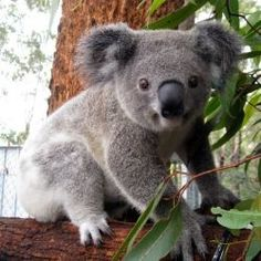 I can't wait to care for the koala bears at the koala  hospital in Australia!!!