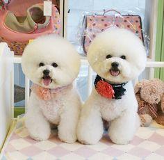 Cute couple Bichon Frise