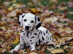 I've always wanted a dalmatian.
