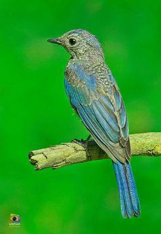 Verditer Flycatcher (Juvenile)