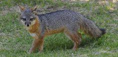 What does the (island) fox say? #WildlifeWednesday alive.com