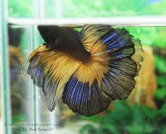 wow! black/yellow with lovely iridescence