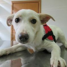 Please help Goldie! - Meet Goldie,she is just the cutest pup and our golden angel! We saved   her just recently from a terrible shelter life conditions where she   was put on death row list! Still soon we fond out that the bettle was not over for her,God has   put her on ...