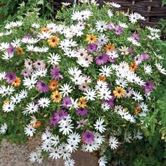 Osteospermum 'Falling Stars'™ (Sunbrella) - The first cascading variety that comes in a blend of 5 vivid colours.