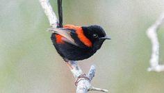 胎教だった。ヒナ鳥は孵化する前にすでに親鳥からさえずり方を学んでいることが判明(オーストラリア研究)