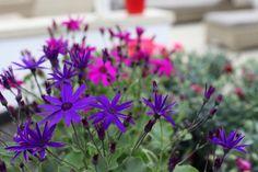 Senecio Senetti Deep Blue - looks purple in the photo, but its truly blue! Colorful Garden, Deep Blue, Garden Furniture, Cork, Seasons, Colour, Purple, Interior, Plants