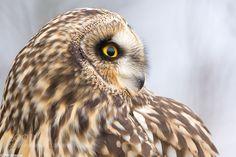 Short-eared Owl portrait by Phil_Johnston via http://ift.tt/1K2QeqQ