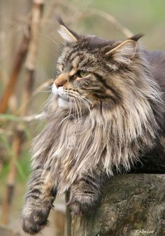 Maine Coon   CH Relaxing Tigers Europa
