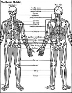 Skeleton Diagram | The Biological Basis of Bone & Anatomical Directional Terms | These ...