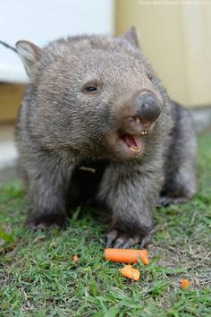 Milo the wombat is all smiles after his first visit to the dentist at Australia Zoo. Happy Animals, Animals For Kids, Cute Baby Animals, Animals And Pets, Smiling Animals, Wild Animals, Cute Australian Animals, Australia Animals, Wombat