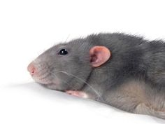The handsome Mr. Picasso Ratty! I love Picasso! He is on Facebook also! I Lubs Picasso!