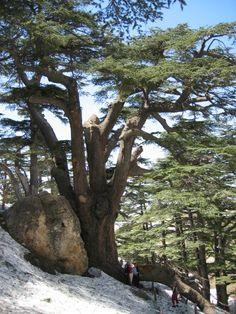 The Lebanon cedar is the national emblem of Lebanon.